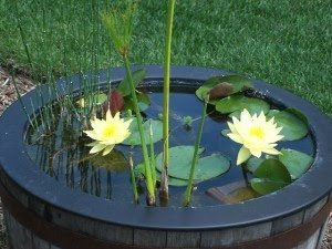 Growing Lotus Water Lilies Open Dec 26 April 13