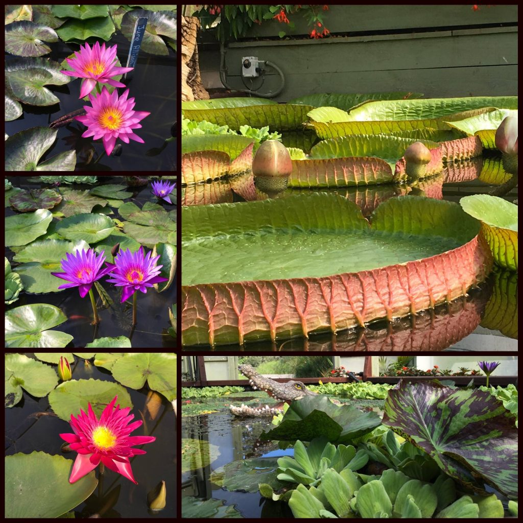 Tropical world closed until 27th december australian native house has been redeveloped and now features a collection of native lotus and waterlilies from the tropical regions of northern australia mightylinksfo