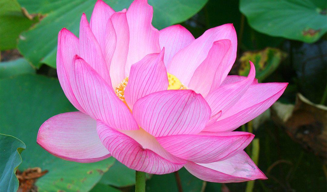Ancient Japanese Flower Open Dec 26 April 13